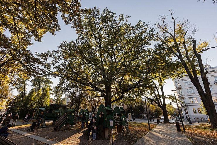 Dąb szypułkowy -  pomnik przyrody na Placu Litewskim